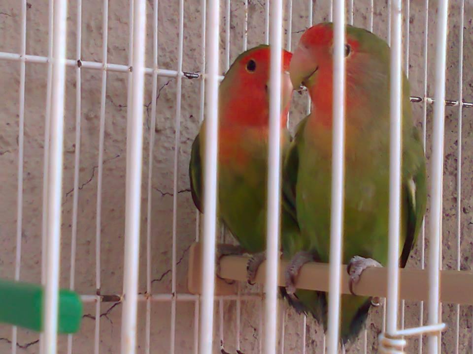 la mia coppia di inseparabili roseicollis