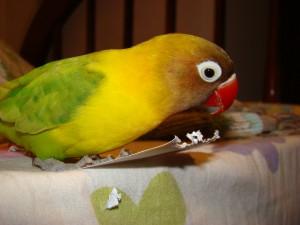 Come Allevare gli Inseparabili (pappagallini) - wikiHow